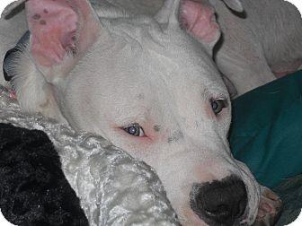American Pit Bull Terrier Puppy for adoption in Conyers, Georgia - Casper