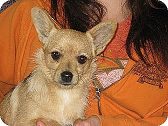 Pomeranian/Chihuahua Mix Dog for adoption in Allentown, Pennsylvania - Our little Cupcake Courtney