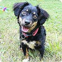 Adopt A Pet :: Linzee - Mocksville, NC