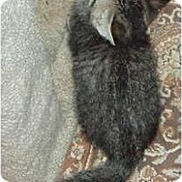 Adopt A Pet :: Tiger Kittens - Westfield, MA