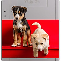 Adopt A Pet :: Lab/Bassett puppies - Owensboro, KY