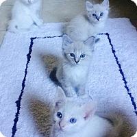Adopt A Pet :: Spritzie - Bentonville, AR