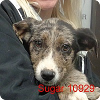 Adopt A Pet :: Sugar - Greencastle, NC