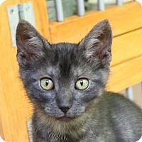 Adopt A Pet :: Maatta - Ann Arbor, MI