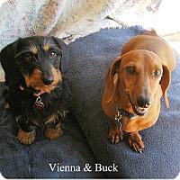 Adopt A Pet :: Vienna - Tucson, AZ