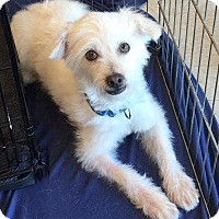 Adopt A Pet :: Winston - Scottsdale, AZ