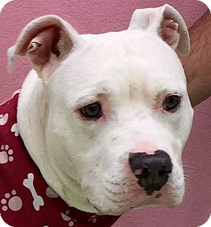 American Staffordshire Terrier Mix Dog for adoption in Evansville, Indiana - Bailey