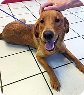 Golden Retriever Mix Dog for adoption in BIRMINGHAM, Alabama - Creel