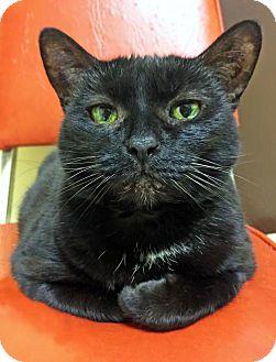 Domestic Shorthair Cat for adoption in Toledo, Ohio - GIRLY