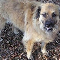 Australian Shepherd Mix Dog for adoption in Ravenel, South Carolina - Merry Merry