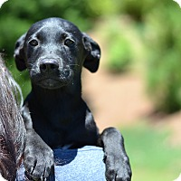 Adopt A Pet :: Kentucky - Derby Litter - Acworth, GA