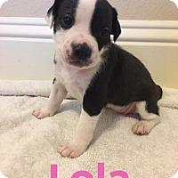 American Staffordshire Terrier Puppy for adoption in ROSENBERG, Texas - Lola