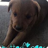 Adopt A Pet :: Butterfinger - Garden City, MI