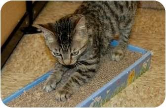 Domestic Shorthair Cat for adoption in Houston, Texas - Mia