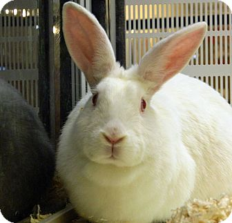 New Zealand Mix for adoption in Cheyenne, Wyoming - Snowflake