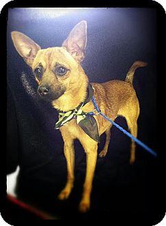Chihuahua/Corgi Mix Dog for adoption in Hazard, Kentucky - Skippy