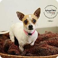 Adopt A Pet :: Mia   (Mama Mia) - Shawnee Mission, KS