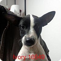 Adopt A Pet :: Ivory - Greencastle, NC