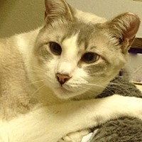 Domestic Shorthair Cat for adoption in Drippings Springs, Texas - Woody