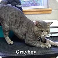 Adopt A Pet :: Grayboy - Bentonville, AR