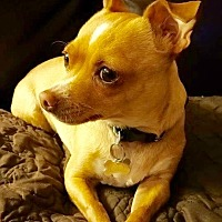 Adopt A Pet :: Joey- female - Los Angeles, CA
