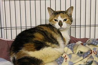Domestic Shorthair Cat for adoption in Bourbonnais, Illinois - Spirit
