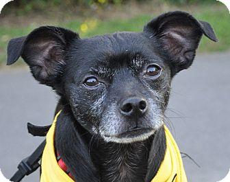 Pug/Chihuahua Mix Dog for adoption in Harrisonburg, Virginia - Winston