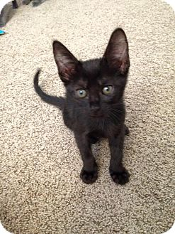Domestic Shorthair Kitten for adoption in Temecula, California - Rachel