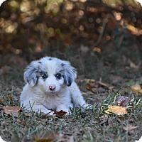 Adopt A Pet :: Possum - Groton, MA