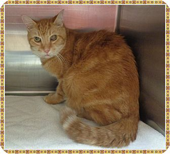 Domestic Shorthair Cat for adoption in Marietta, Georgia - KC