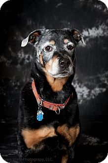 Rottweiler/Australian Shepherd Mix Dog for adoption in Williston, Vermont - Bellafleck aka Pretty