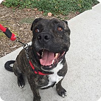 Mastiff Mix Dog for adoption in Beverly Hills, California - Bruce