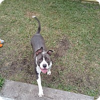 American Staffordshire Terrier/American Bulldog Mix Dog for adoption in Houston, Texas - Kasia