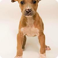 Adopt A Pet :: BIG BOY - Modesto, CA