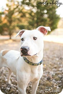 Bull Terrier Mix Dog for adoption in Columbia, Tennessee - Rocko