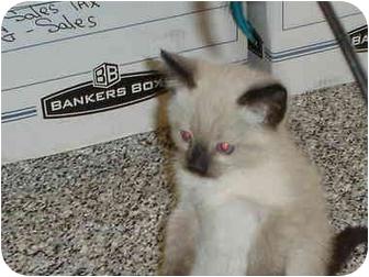 Siamese Kitten for adoption in Hesperia, California - chocolate