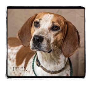 Coonhound Mix Dog for adoption in Warren, Pennsylvania - Fern