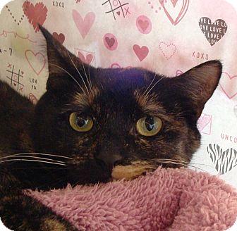 Domestic Shorthair Cat for adoption in Albany, New York - Kallie