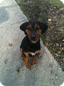 Treeing Walker Coonhound Mix Puppy for adoption in Linton, Indiana - Tillie