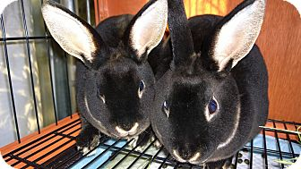 Mini Rex for adoption in Seattle c/o Kingston 98346/ Washington State, Washington - Harper & Lee