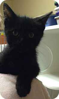 Domestic Shorthair Kitten for adoption in Putnam Hall, Florida - Mikey