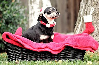 Chihuahua Mix Dog for adoption in Sacramento, California - Zach