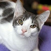 Adopt A Pet :: Greyson - Pacific Grove, CA