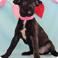 Adopt A Pet :: Gemini - Waldorf, MD
