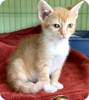 Domestic Shorthair Kitten for adoption in Island Park, New York - Princess Harriet
