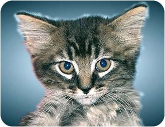 Domestic Mediumhair Kitten for adoption in Montgomery, Illinois - Harper