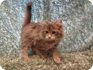 Norwegian Forest Cat Kitten for adoption in Arlington, Virginia - Remi