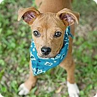 Adopt A Pet :: Taio-w/video! - East Hartford, CT