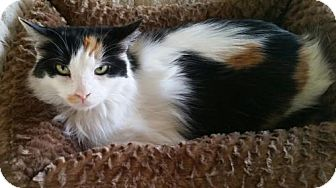 Domestic Longhair Cat for adoption in Columbus, Indiana - Aja