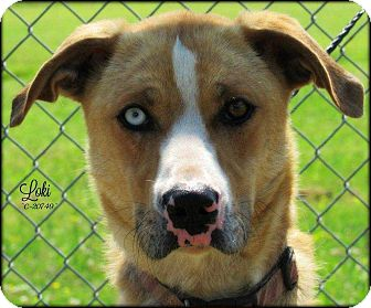 German Shepherd Dog/Labrador Retriever Mix Dog for adoption in Disney, Oklahoma - Loki